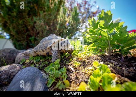 Russian tortoise exploring - Stock Photo