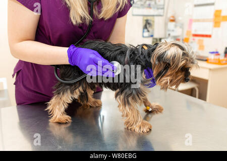 young girl vet in the clinic examine with stethoscope a dog breed Yorkshire terrier. - Stock Photo