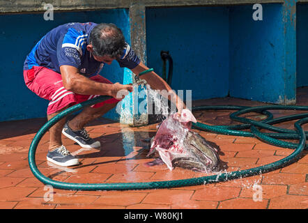 Fresh catch of angler, monkfish, being prepared for sale, Fish market, Puerto Ayuro, Santa Cruz Island, Galapagos Islands, Ecuador - Stock Photo