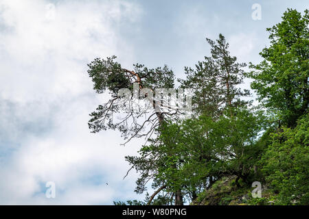 A pine tree with a curved trunk grows on the edge of a cliff. Cloudy sky. Copy space background.
