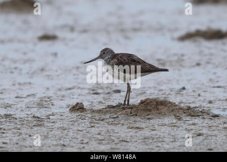 Common Greenshank - Stock Photo