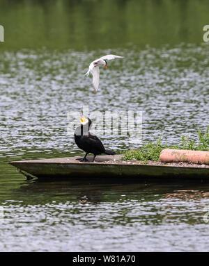 common Tern and Corrmorant - Stock Photo