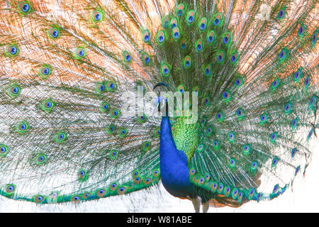 A view of an indian blue peacock spreading his wings. - Stock Photo