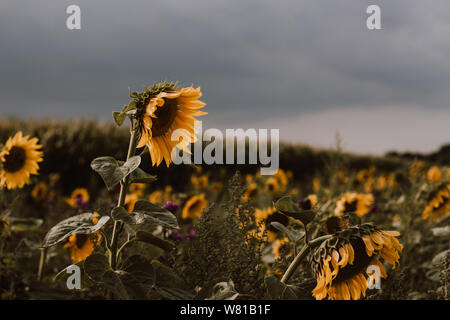 A Sunflower patch next to a corn field in August hust before a thunderstorm hits - Stock Photo