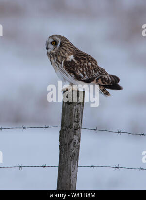 Short Eared Owl in winter with a snowy background perched on a pole. - Stock Photo