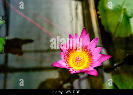 Colourful vibrant pink and purple blooming lotus growth on dark pond. Beautiful single water lily on blurry background of leaves float on water. - Stock Photo