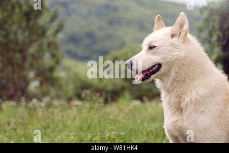 side view siberian Laika dog in the nature outdoor