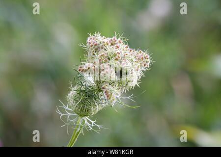 einzelne Pflanze voller Samen im Sommer - Stock Photo