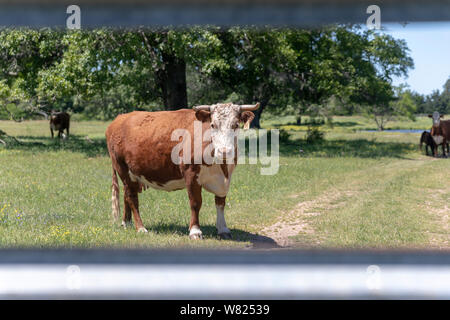 Cow looking through a fence - Stock Photo