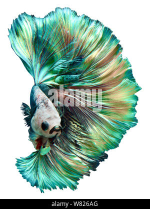Betta Fish fancy halfmoon movement on isolate background with clipping path - Stock Photo