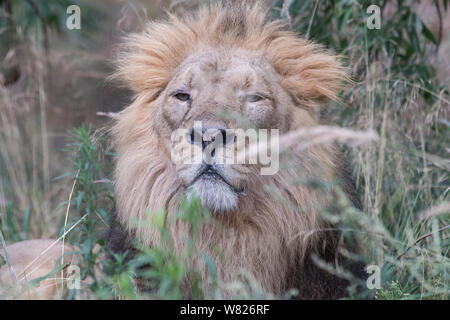 ZSL London Zoo's Asiatic lion seen during the World Lion Day 2019 celebration. - Stock Photo