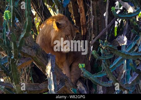 A lion sitting in the middle of trees near cactuses - Stock Photo