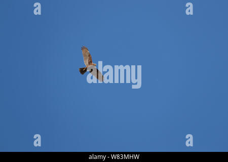 female marsh harrier Latin circus aeruginosus in flight soaring above a field in Italy in springtime by Ruth Swan - Stock Photo