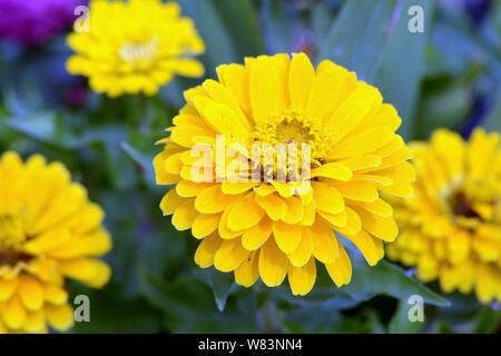 Yellow Zinnia flowers in garden - Stock Photo