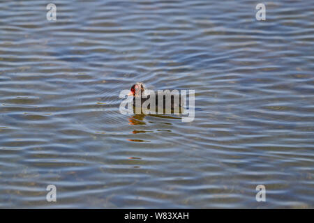 juvenile and extremely cute coot chick Latin fulica atra folaga swimming on a lake in a nature reserve in Portonovo by Monte Conero near Ancona Italy - Stock Photo