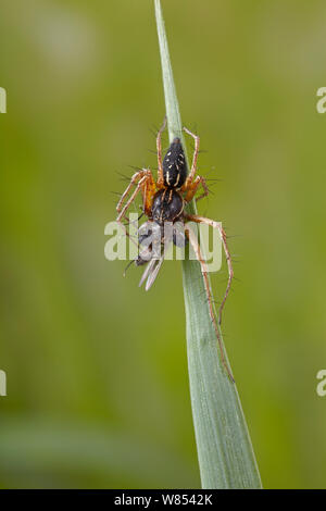 Lynx Spider (Oxyopes heterophthalmus) male feeding on caught fly. UK, March. - Stock Photo