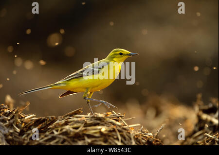 Yellow wagtail (Motacilla flava flavissima) adult male in spring plumage feeding on dung flies at farm midden heap, Hertfordshire, UK, April. Did you know? Yellow wagtails commonly used nest in water meadows - however now as water meadows are less common they often nest in potato fields.