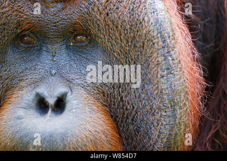Bornean Orangutan (Pongo pygmaeus wurmbii) mature male 'Tom' close-up portrait showing cheek pad eyes and nose. Camp Leakey, Tanjung Puting National Park, Central Kalimantan, Borneo, Indonesia. June 2010. Rehabilitated and released (or descended from) between 1971 and 1995. - Stock Photo
