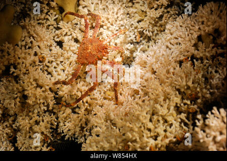 Northern stone crab (Lithodes maja) on coral reef (Lophelia pertusa) in Trondheimfjord, North Atlantic Ocean, Norway. Photo taken in cooperation with GEOMAR coldwater coral research project - Stock Photo
