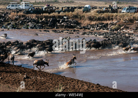 Topi (Damaliscus lunatus jimela), Eastern White-bearded Wildebeest (Connochaetes taurinus) and Common or Plains zebra (Equus quagga burchellii) mixed herd crossing the Mara River watched by tourists in vehicles, Masai Mara National Reserve, Kenya, September 2010 - Stock Photo