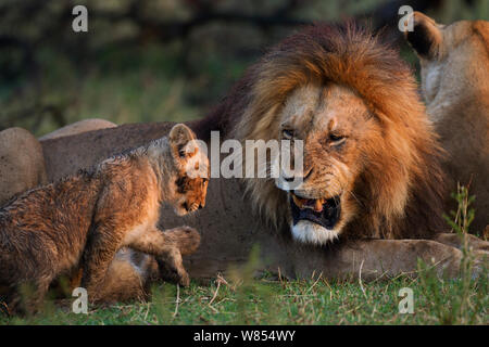 Lion (Panthera leo) male snarling at an inquisitve cub aged 2-3 months, Masai Mara National Reserve, Kenya, September - Stock Photo