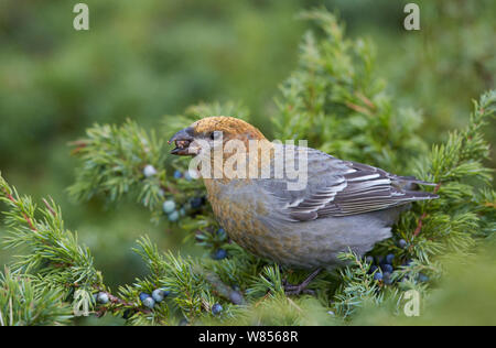 Pine Grosbeak (Pinicola enucleator) eating Juniper berries, Uto Finland October - Stock Photo