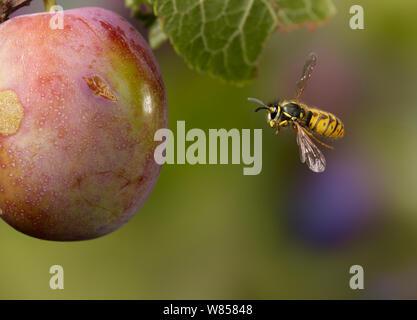 Common wasp (Vespula vulgaris) flying around plum, controlled conditions, UK - Stock Photo