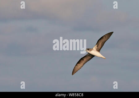 Zino's Petrel (Pterodroma madeira) in flight, Madeira, August - Stock Photo