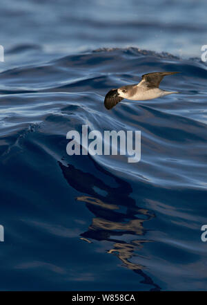 Zino's Petrel (Pterodroma madeira) in flight over Atlantic ocean, Madeira, August - Stock Photo