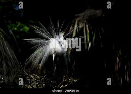 Great Egret (Ardea alba) displaying at nest, St Augustine, Florida, USA - Stock Photo