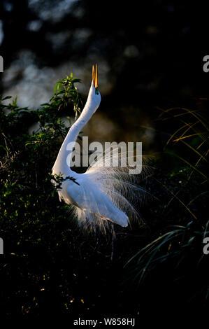 Great Egret (Ardea alba) displaying at nest St Augustine, Florida, USA - Stock Photo
