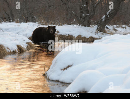 Kamchatka Brown Bear (Ursus arctos beringianus) fishing in snow-bordered river. Kronotsky Zapovednik Nature Reserve, Kamchatka Peninsula, Russian Far East, March. - Stock Photo