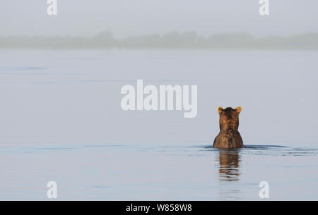 Kamchatka Brown Bear (Ursus arctos beringianus) fishing in lake, looking to misty horizon. Kronotsky Zapovednik Nature Reserve, Kamchatka Peninsula, Russian Far East, May. - Stock Photo