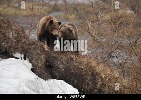 Kamchatka Brown Bears (Ursus arctos beringianus) interacting. Kronotsky Zapovednik Nature Reserve, Kamchatka Peninsula, Russian Far East, July. - Stock Photo