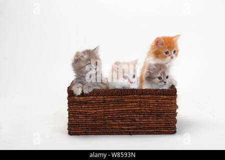 British Longhair Cats, four kittens aged 10 weeks sitting in basket - Stock Photo