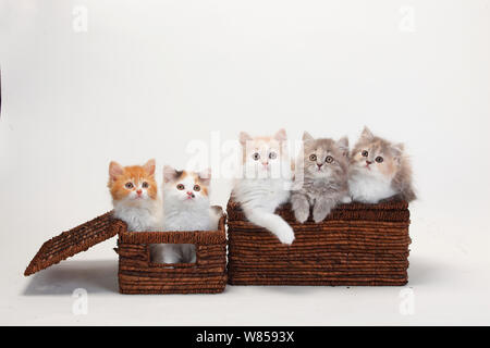 British Longhair Cats, five kittens aged 10 weeks sitting in baskets. - Stock Photo