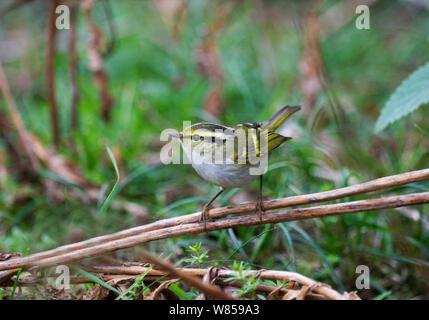 Pallas's Warbler (Phylloscopus proregulus) Burnham Overy Dunes, Norfolk, October - Stock Photo