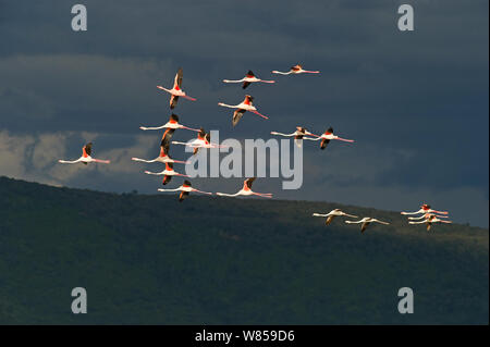 Lesser Flamingos (Phoenicopterus minor) in flight over Lake Nakuru, Kenya - Stock Photo