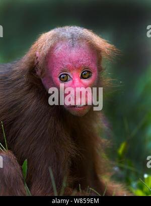 Bald Uakari (Cacajao calvus ucayalii) Iquitos region, Amazon Basin, Peru. Controlled conditions. - Stock Photo
