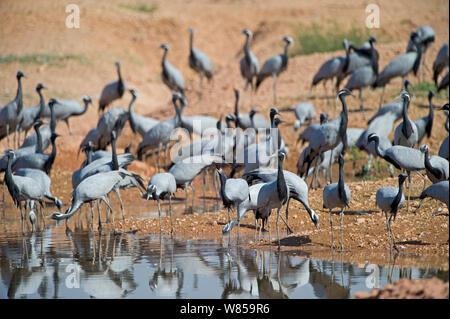 Demoiselle Cranes (Anthropoides virgo) at Khichan, Thar Desert, Rajasthan, India, November - Stock Photo