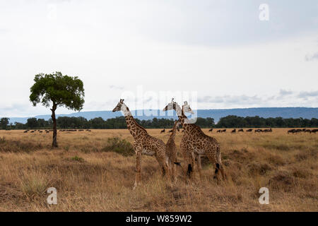 Masai giraffe (Giraffa camelopardalis tippelskirchi) male group. Masai Mara National Reserve, Kenya. August - Stock Photo