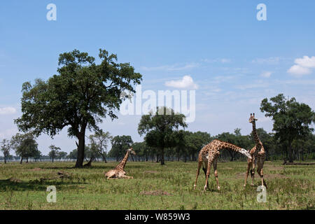 Masai giraffe (Giraffa camelopardalis tippelskirchi)  males necking, watched by another resting Masai Mara National Reserve, Kenya. August - Stock Photo