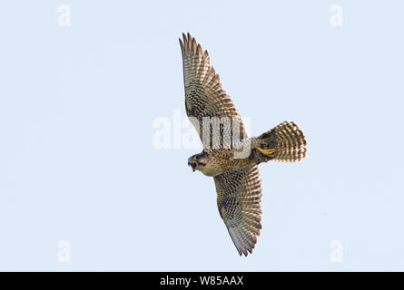 Female Lanner falcon (Falco biarmicus) in flight, Sicily, Italy, May. - Stock Photo