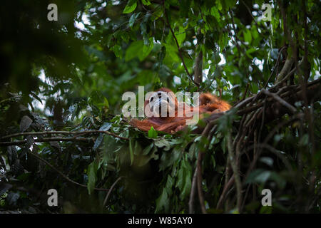 Sumatran orangutan (Pongo abelii) female 'Ratna' aged 24 years resting in a day nest. Gunung Leuser National Park, Sumatra, Indonesia. Rehabilitated and released (or descended from those which were released) between 1973 and 1995. - Stock Photo