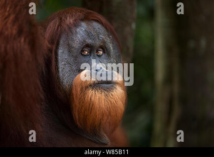 Sumatran orangutan (Pongo abelii) mature male 'Halik' aged 26 years portrait. Gunung Leuser National Park, Sumatra, Indonesia. Rehabilitated and released (or descended from those which were released) between 1973 and 1995. - Stock Photo