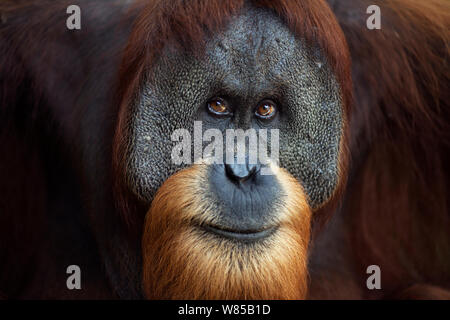 Sumatran orangutan (Pongo abelii) mature mae 'Halik' aged 26 years portrait. Gunung Leuser National Park, Sumatra, Indonesia. Rehabilitated and released (or descended from those which were released) between 1973 and 1995. - Stock Photo