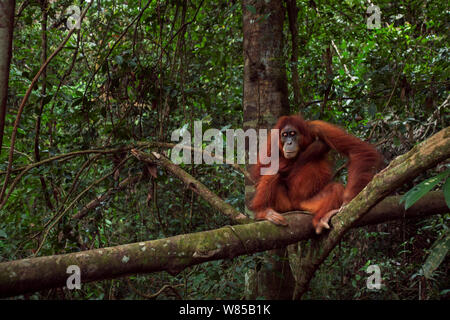 Sumatran orangutan (Pongo abelii) female 'Jaki' aged 16 years resting on a fallen tree. Gunung Leuser National Park, Sumatra, Indonesia. Rehabilitated and released (or descended from those which were released) between 1973 and 1995. - Stock Photo
