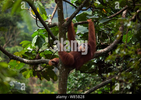 Sumatran orangutan (Pongo abelii) mature male 'Halik' aged 26 years resting in a tree. Gunung Leuser National Park, Sumatra, Indonesia. Rehabilitated and released (or descended from those which were released) between 1973 and 1995. - Stock Photo