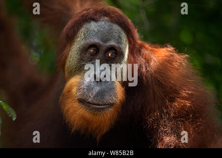 Sumatran orangutan (Pongo abelii) young male portrait. Gunung Leuser National Park, Sumatra, Indonesia. Rehabilitated and released (or descended from those which were released) between 1973 and 1995. - Stock Photo