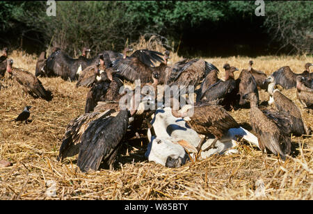Indian White-rumped Vulture (Gyps bengalensis) and Slender-billed Vulture (Gyps tenuirostris) feeding on cow carcass at Bharatpur India,  January 1990 - before the Indian Vulture conservation crisis caused medicine used on cattle which is fatal to vultures. - Stock Photo